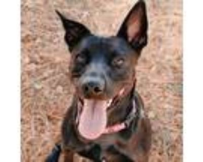 Adopt Chevelle a Black Shepherd (Unknown Type) / Mixed dog in Newark