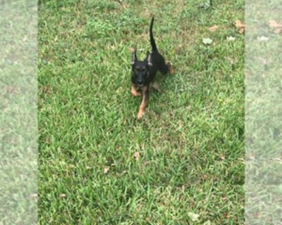 ONLY 2 FEMALES LEFT WORKING LINE MALINOIS PUPPIES