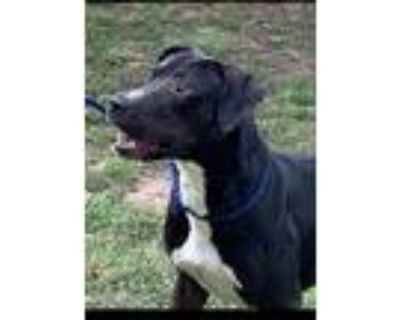 Adopt Colin a Black Labrador Retriever