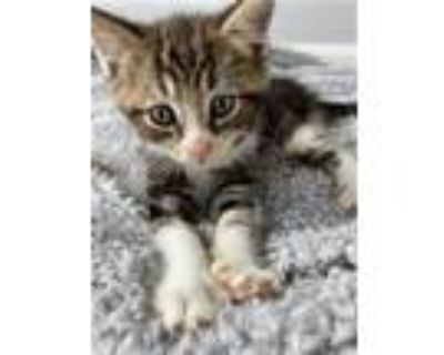 Adopt Feathers F a Domestic Short Hair