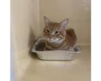 Adopt Spanx a Orange or Red Domestic Shorthair / Mixed cat in Blasdell