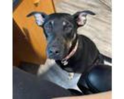 Adopt Blossom a Miniature Pinscher / Shepherd (Unknown Type) / Mixed dog in