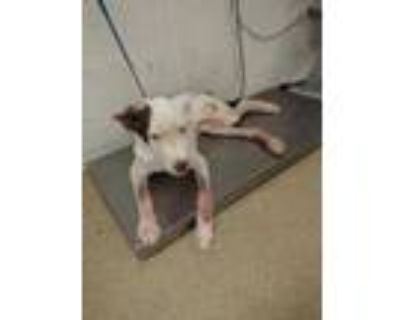 Adopt 48282403 a White Pointer / Mixed dog in Fort Worth, TX (32026359)