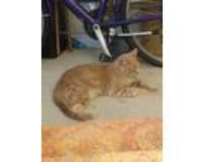 Adopt Spaz a Orange or Red (Mostly) American Shorthair / Mixed (short coat) cat