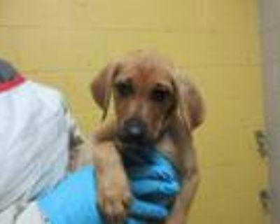 Adopt MITZI a Labrador Retriever, Mixed Breed
