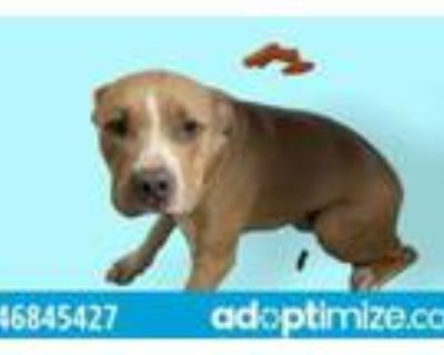 Adopt 46845427 a Pit Bull Terrier, Mixed Breed