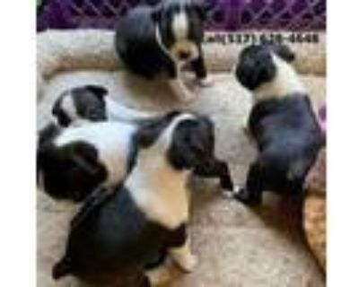 llgt Boston terrier puppies for sale.