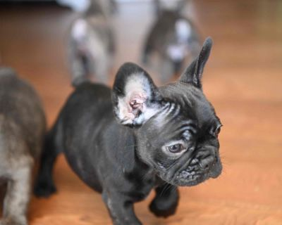 Blue French Bulldog Puppies available now