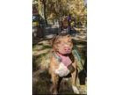Adopt Margot a Brown/Chocolate - with Tan American Pit Bull Terrier / Labrador