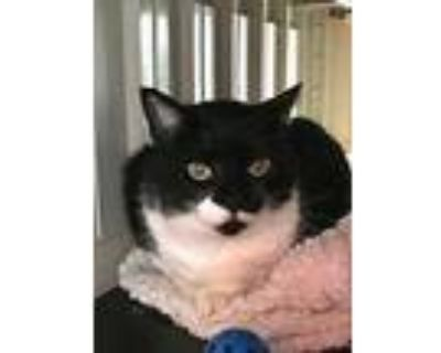Symphony, Domestic Shorthair For Adoption In Portsmouth, Virginia