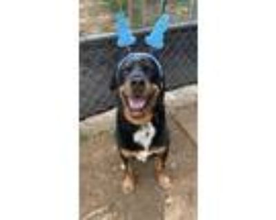 Adopt Oso a Black - with Tan, Yellow or Fawn Rottweiler / Mixed dog in Downey