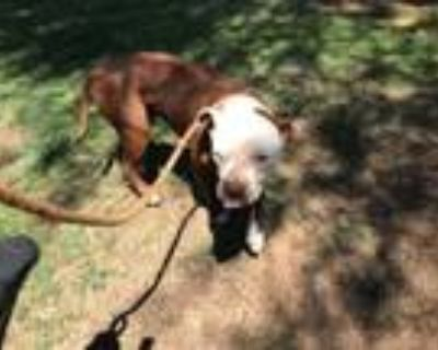 Adopt RENO a Pit Bull Terrier