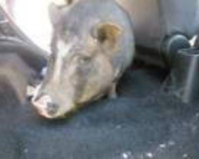 Adopt A591480 a Pig