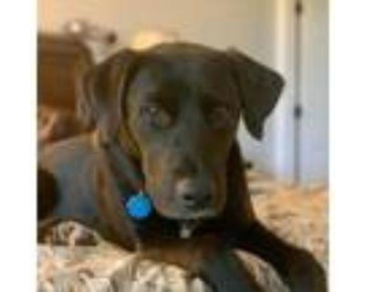 Adopt Albie a Black Labrador Retriever, Mixed Breed