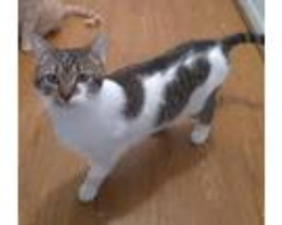 Adopt Leo a Gray, Blue or Silver Tabby Domestic Shorthair (short coat) cat in