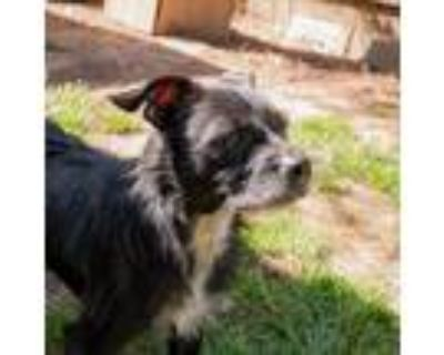 Adopt Polo a Black - with White Terrier (Unknown Type, Medium) / Mixed dog in