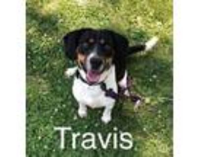Adopt Travis a Tricolor (Tan/Brown & Black & White) Beagle / Mixed dog in