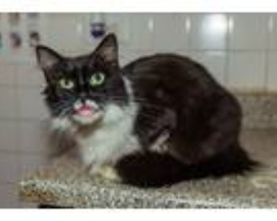 Adopt Pip a Black (Mostly) Maine Coon (long coat) cat in Chicago, IL (14483989)