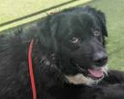 Adopt LEIV a Black - with White Newfoundland / Mixed dog in Phoenix