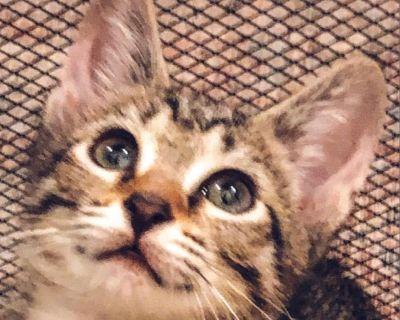Tink - Domestic Shorthair - Kitten Female