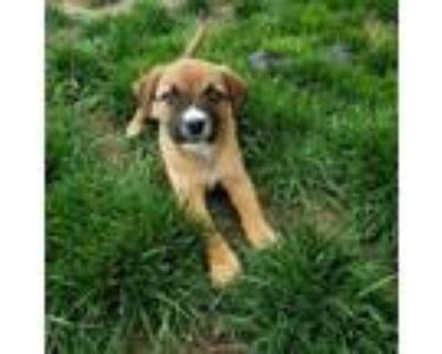 Adopt LOLA a Labrador Retriever, Mixed Breed