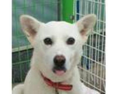 Adopt Diana a White Jindo / Spitz (Unknown Type, Medium) / Mixed dog in Santa