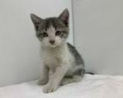 Adopt Waylon a Gray or Blue Domestic Shorthair / Mixed cat in Boulder