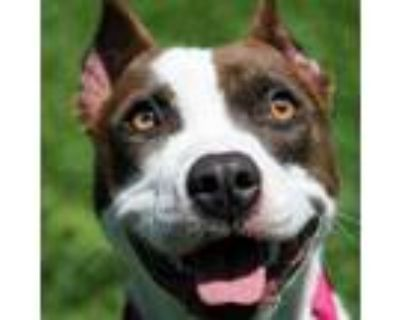 Adopt Clementine a Pit Bull Terrier