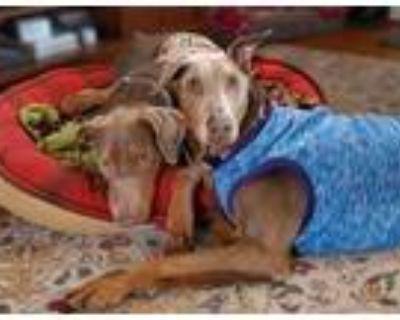 Adopt Gidget & Malibu Stacy a Doberman Pinscher