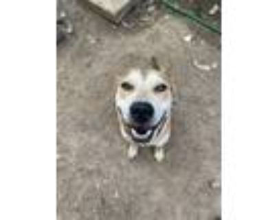 Adopt Luna & Oinky a Tan/Yellow/Fawn Husky / Boxer / Mixed dog in White