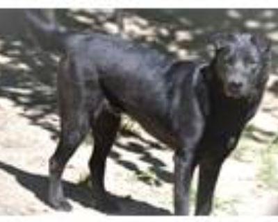 Adopt Maverick a Black Labrador Retriever / German Shepherd Dog / Mixed dog in