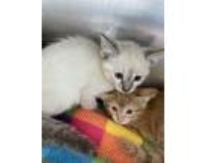 Adopt 48240209 a Tan or Fawn (Mostly) Siamese / Mixed cat in El Paso