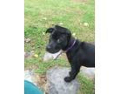 Adopt Chantal a Black Boxer / Labrador Retriever / Mixed dog in Springfield