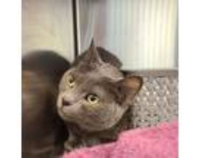 Adopt Cute Kitty a Domestic Short Hair