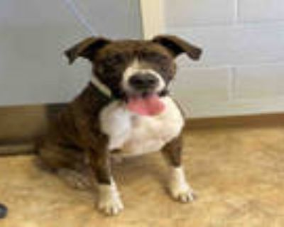 Adopt JARVIS a Brindle - with White Great Dane / Mixed dog in Paradise