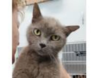 Adopt Ash - FREE Adoption Fee and FREE Gift Bag a Gray or Blue Russian Blue /