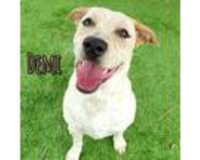 Adopt DEMI a White - with Brown or Chocolate Australian Cattle Dog / Labrador