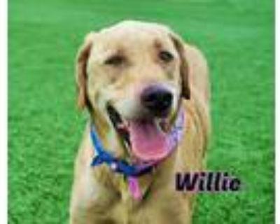 Adopt Willie a Labrador Retriever, Mixed Breed