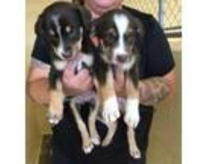 Adopt Lab mix puppies a Labrador Retriever