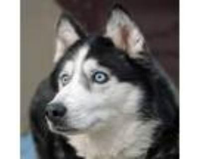 Adopt Nikki a Black Husky / Mixed dog in Washington, DC (28572895)