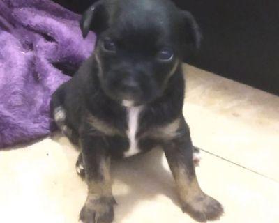 1 male Boston terrier Chihuahua miniature  pinscher puppies
