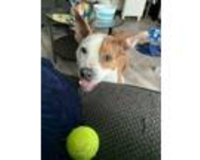 Adopt Samara a Pit Bull Terrier