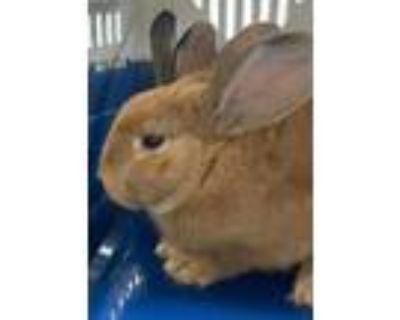 Adopt Ogma a Bunny Rabbit