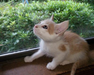 Orange kittens