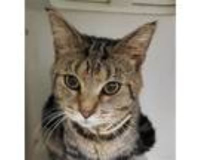 Adopt MELLOW a Brown Tabby Domestic Shorthair / Mixed (short coat) cat in