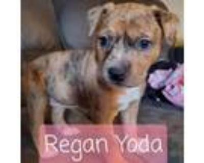Adopt Regan Yoda a Australian Cattle Dog / Blue Heeler, Pit Bull Terrier