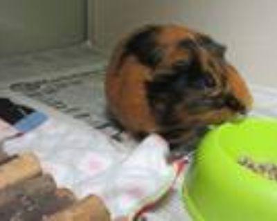 Adopt BOO a Guinea Pig