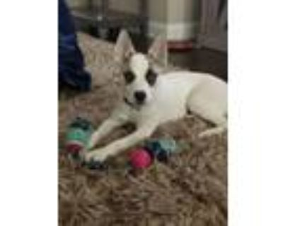 Adopt Shelby a White - with Black Husky / Shepherd (Unknown Type) / Mixed dog in