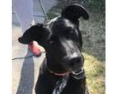 Adopt Griffin a Doberman Pinscher / Labrador Retriever / Mixed dog in Merriam