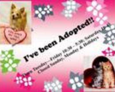 Adopt A509016 a Shetland Sheepdog / Sheltie, Mixed Breed